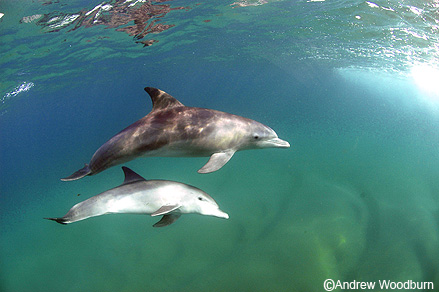 photo of bottlenose dolphins copyright Andrew Woodburn