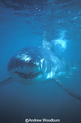 copyright Andrew Woodburn white shark swimming round shark cage during shark dive