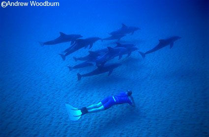 freed diving with wild dolphins underwater copyright Andrew Woodburn