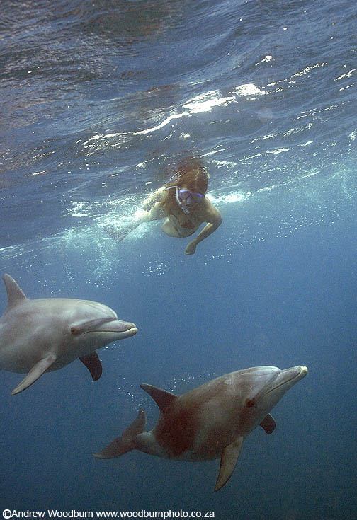 dolphin swimming encounter copyright Andrew Woodburn