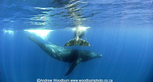 mother humpback whale under whale calf by andrew woodburn