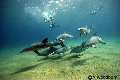 photo of swimming with dolphins in mozambique copyright A Woodburn