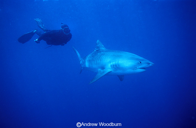 freediving with a tiger shark, underwater photographs Copyright Andrew Woodburn