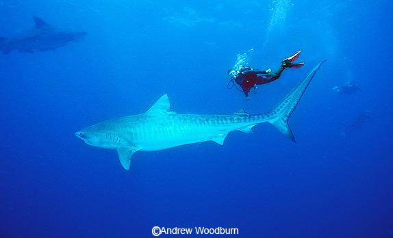 copyright Andrew Woodburn , diving with tiger sharks in south africa, notice the even bigger shark in the background behind the shark & diver